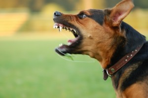 Angry Dog - Fort Mill & Rock Hill Animal Attack Lawyer